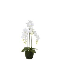 Hvit orchide med potte