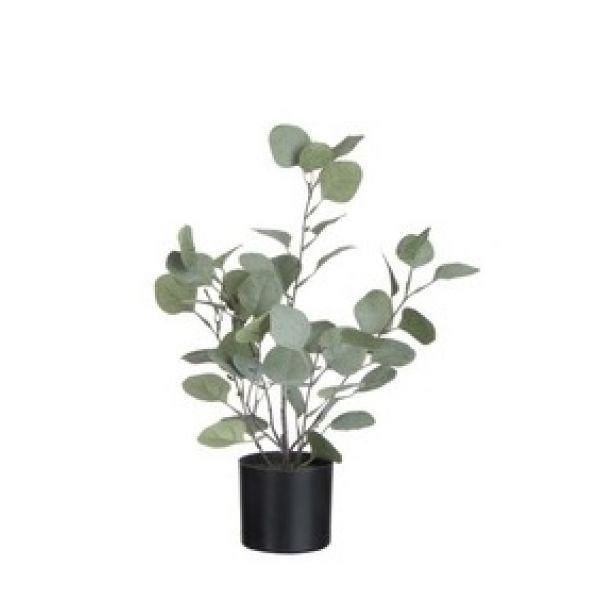 Eucalyptus, Small