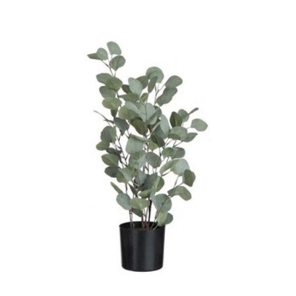 Eucalyptus, Large