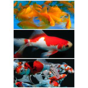 Mix Gullfisk 6-10cm