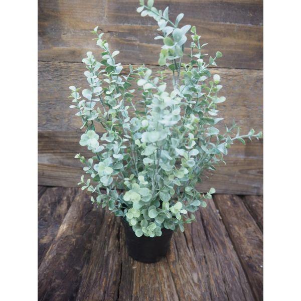 Eukalyptus potte