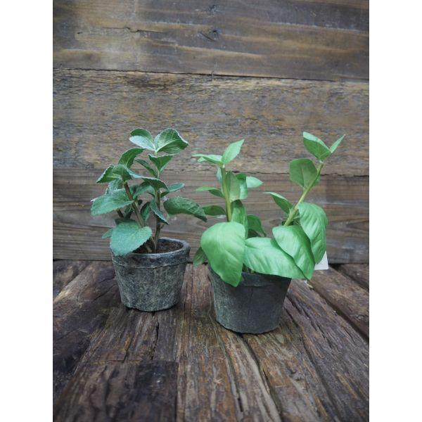 Krydderplante basilikum/mynte