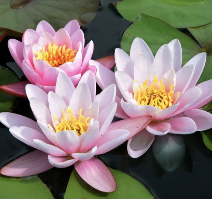 Rosa hardfør vannlilje / Carnea