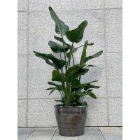 Strelitzia Nicolai - 1,5 meter høy plante