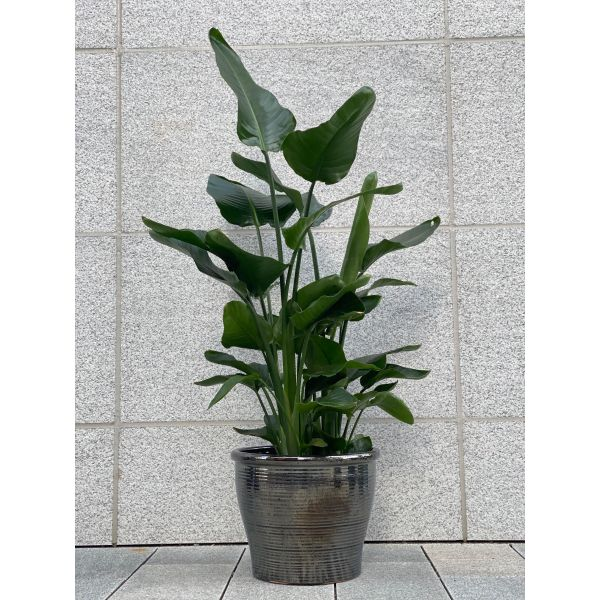 Strelitzia Nicolai - 1,7 meter høy plante