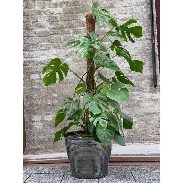 Monstera - 1,6 meter høy plante