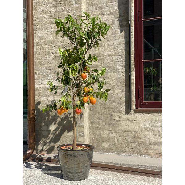 Sitrus tre - Red lemon (CITRUS LIMON 'ROSSO')