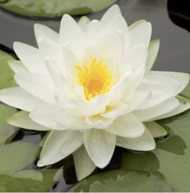 Hvit hardfør vannlilje / Albida