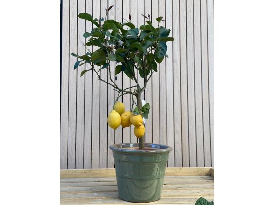 Sitron tre (1 meter) - yellow lemon tree (CITRUS LIMONE)