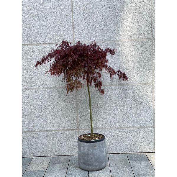 Japansk blodblønn /Viftelønn - 2,4m høy (Acer palm - Ariadne)