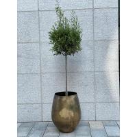Oliventre (stort) - 2,4 meter