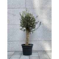 Oliventre (XL- lavt) - 1,7 meter/ tjukk stamme