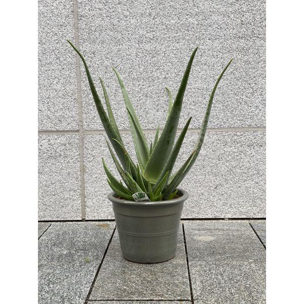 Aloe Vera - mirakelplante