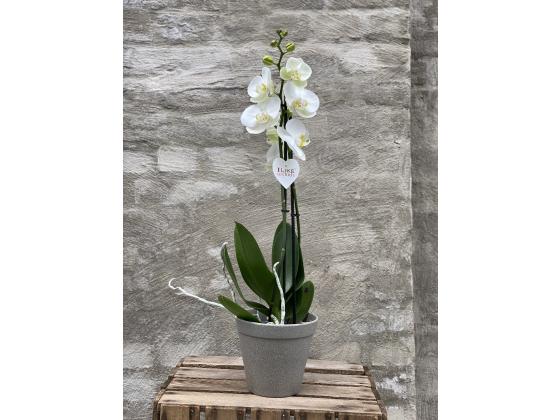 Orkidé - storblomstret Phalaenopsis