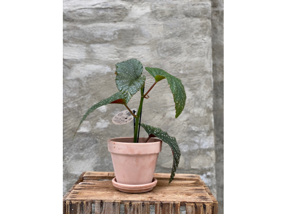 Begonia plante