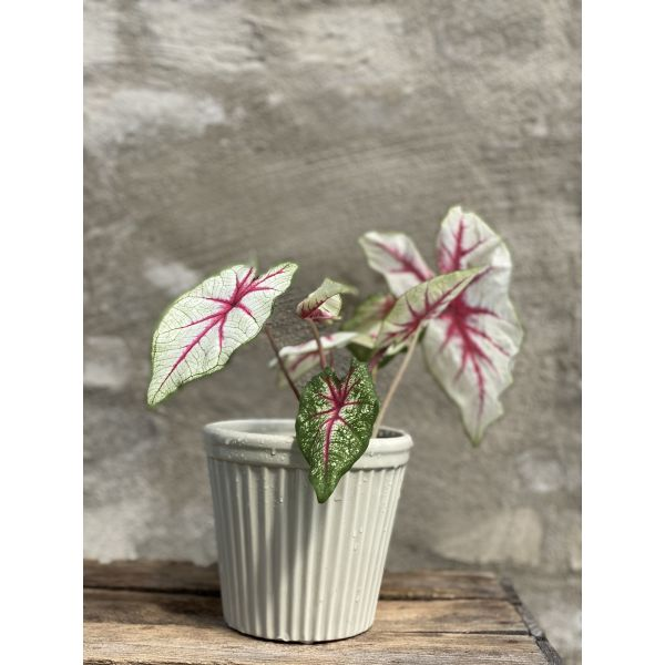 Caladium plante