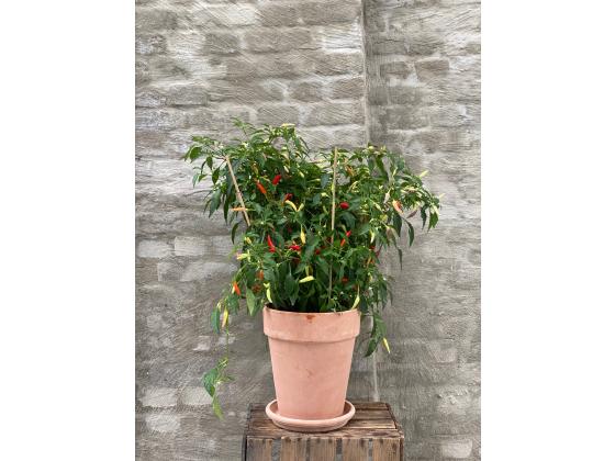 Chili plante