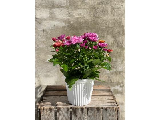 Krysantemum plante