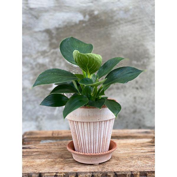 Philodendron plante / liten og lettstelt