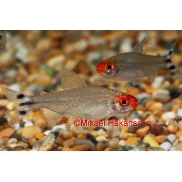 Rødmunntetra  3-3,5cm