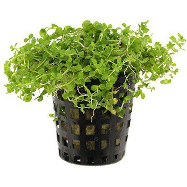Micranthemum