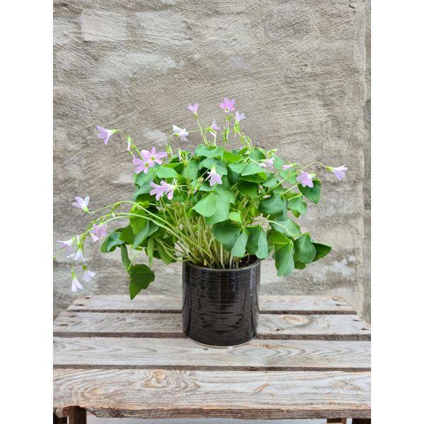 Gjøkesyre (oxalis) plante