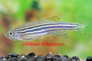 Zebrafisk 2,5-3,5cm