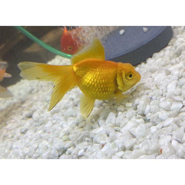 Slørhale Gul Pearlscale 5-7cm