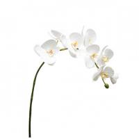 Phalae orchid large